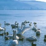 諏訪湖と白鳥