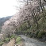 西山公園下の桜