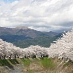 横河川桜(岡谷市)